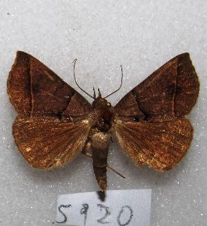 "(Nymbis prolixa - MACN-Bar-Lep-ct 05920)  @13 [ ] Copyright (2014) MACN Museo Argentino de Ciencias Naturales ""Bernardino Rivadavia"""