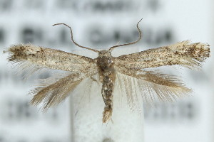 (Elachista occidentalis - MM21443)  @13 [ ] CreativeCommons - Attribution Non-Commercial (2012) Marko Mutanen University of Oulu