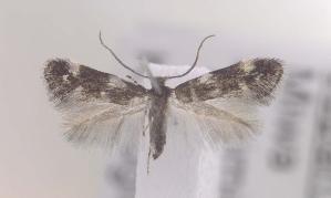 (Elachista jupiter - MM16178)  @11 [ ] Unspecified (default): All Rights Reserved  Unspecified Unspecified