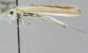 (Coleophora aliquanta - MM20345)  @12 [ ] CreativeCommons - Attribution Non-Commercial (2012) Marko Mutanen University of Oulu