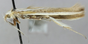 (Coleophora aliquanta - MM20346)  @12 [ ] CreativeCommons - Attribution Non-Commercial (2012) Marko Mutanen University of Oulu
