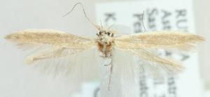 (Coleophora isomoera - MM20448)  @13 [ ] CreativeCommons - Attribution Non-Commercial (2012) Marko Mutanen University of Oulu