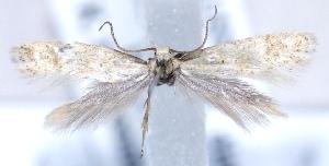 (Elachista nr. pollinariella - MM20847)  @13 [ ] No Rights Reserved (2011) Marko Mutanen University of Oulu