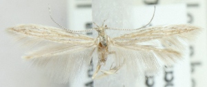 (Coleophora crispella - MM21596)  @11 [ ] CreativeCommons - Attribution Non-Commercial (2012) Marko Mutanen University of Oulu