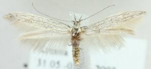 (Coleophora coarctataephaga - MM21632)  @13 [ ] CreativeCommons - Attribution Non-Commercial (2012) Marko Mutanen University of Oulu