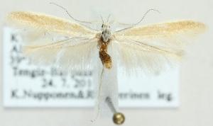 (Coleophora ceratoidis - MM21721)  @13 [ ] CreativeCommons - Attribution Non-Commercial (2012) Marko Mutanen University of Oulu