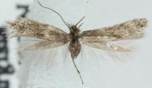 (Elachista nr. subnigrella - MM22532)  @11 [ ] CreativeCommons - Attribution Non-Commercial (2012) Marko Mutanen University of Oulu