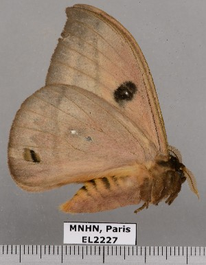 ( - EL2227)  @12 [ ] CreativeCommons (2015) MNHN Muséum national d'Histoire naturelle