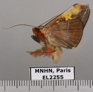 (Argidia suprema - EL2255)  @13 [ ] CreativeCommons (2015) MNHN Muséum national d'Histoire naturelle