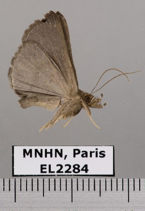 (Hypena hemonalis - EL2284)  @13 [ ] CreativeCommons - Attribution (2015) MNHN Muséum national d'Histoire naturelle