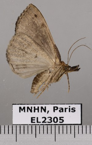 (Hypena freija - EL2305)  @12 [ ] CreativeCommons - Attribution (2015) MNHN Muséum national d'Histoire naturelle