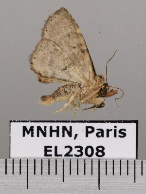 (Metalectra ecchlora - EL2308)  @12 [ ] CreativeCommons (2015) MNHN Muséum national d'Histoire naturelle
