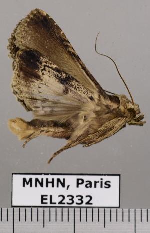 (Acanthodica fosteri - EL2332)  @12 [ ] CreativeCommons (2015) MNHN Muséum national d'Histoire naturelle