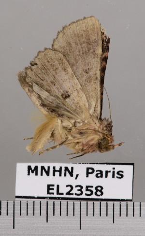 (Metalectra praecisalis - EL2358)  @14 [ ] CreativeCommons (2015) MNHN Muséum national d'Histoire naturelle
