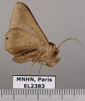 (Pseudophisma aeolia - EL2383)  @13 [ ] CreativeCommons (2015) MNHN Muséum national d'Histoire naturelle