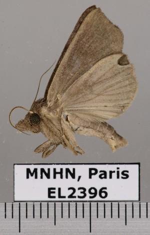 (Oraesia sp. JB1503 - EL2396)  @14 [ ] CreativeCommons - Attribution (2015) MNHN Muséum national d'Histoire naturelle
