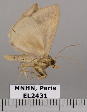 (Perasia ora - EL2431)  @11 [ ] CreativeCommons (2015) MNHN Muséum national d'Histoire naturelle