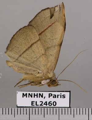 (Argidia sp. JB330 - EL2460)  @14 [ ] CreativeCommons (2015) MNHN Muséum national d'Histoire naturelle