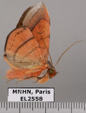 (Argidia aganippe - EL2558)  @14 [ ] CreativeCommons (2015) MNHN Muséum national d'Histoire naturelle