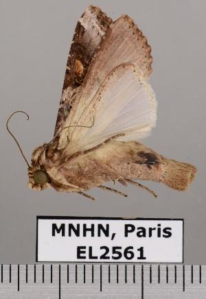 (Spodoptera descoinsi - EL2561)  @11 [ ] CreativeCommons (2015) MNHN Muséum national d'Histoire naturelle