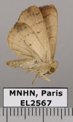 (Bagisara sp. JB1092 - EL2567)  @14 [ ] CreativeCommons (2015) MNHN Muséum national d'Histoire naturelle