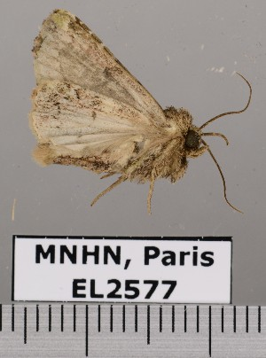 (Chytonidia - EL2577)  @15 [ ] CreativeCommons - Attribution (2015) MNHN Muséum national d'Histoire naturelle
