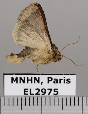(Condica agnata - EL2975)  @12 [ ] CreativeCommons (2015) MNHN Muséum national d'Histoire naturelle