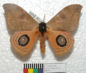 (Automeris chacona chacona - MHNC-ELH-BAR 0091)  @14 [ ] CreativeCommons - Attribution Non-Commercial (2012) Arturo Munos Saravia Museo de Historia Natural Alcide d'Orbigny