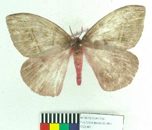 (Hylesiopsis - MHNC-ELH-BAR 0182)  @14 [ ] CreativeCommons - Attribution Non-Commercial (2012) Arturo Munos Saravia Museo de Historia Natural Alcide d'Orbigny