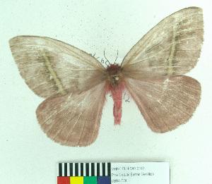 (Hylesiopsis - MHNC-ELH-BAR 0183)  @14 [ ] CreativeCommons - Attribution Non-Commercial (2012) Arturo Munos Saravia Museo de Historia Natural Alcide d'Orbigny