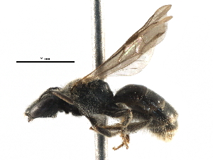 (Lasioglossum RUS2 - 06712A08-RUS)  @13 [ ] CreativeCommons - Attribution Non-Commercial Share-Alike (2016) CBG Photography Group Centre for Biodiversity Genomics
