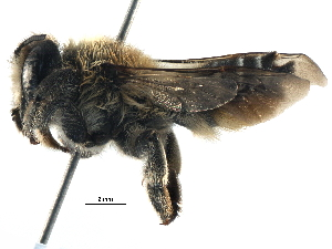 (Megachile RUS02 - 06712B10-RUS)  @15 [ ] CreativeCommons - Attribution Non-Commercial Share-Alike (2016) CBG Photography Group Centre for Biodiversity Genomics