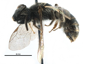 (Lasioglossum RUS5 - 06712B11-RUS)  @15 [ ] CreativeCommons - Attribution Non-Commercial Share-Alike (2016) CBG Photography Group Centre for Biodiversity Genomics