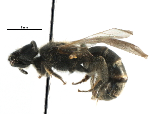 (Lasioglossum RUS6 - 06712C12-RUS)  @12 [ ] CreativeCommons - Attribution Non-Commercial Share-Alike (2016) CBG Photography Group Centre for Biodiversity Genomics