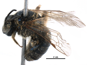 (Lasioglossum formosae - 06712E03-RUS)  @15 [ ] CreativeCommons - Attribution Non-Commercial Share-Alike (2016) CBG Photography Group Centre for Biodiversity Genomics
