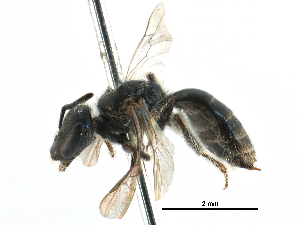 (Lasioglossum RUS4 - 06712E10-RUS)  @15 [ ] CreativeCommons - Attribution Non-Commercial Share-Alike (2016) CBG Photography Group Centre for Biodiversity Genomics