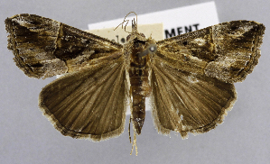 (Hypena jussalis - USNM ENT 01374309)  @11 [ ] Unspecified (default): All Rights Reserved  Unspecified Unspecified