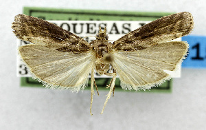 (Ernophthora aphanoptera - USNM ENT 01067537)  @14 [ ] Unspecified (default): All Rights Reserved  Unspecified Unspecified