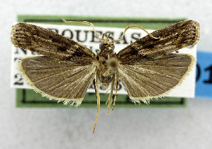 (Ernophthora aphanoptera - USNM ENT 01067538)  @14 [ ] Unspecified (default): All Rights Reserved  Unspecified Unspecified