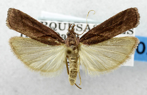 (Ernophthora lechriogramma - USNM ENT 01067540)  @14 [ ] Unspecified (default): All Rights Reserved  Unspecified Unspecified