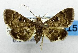 (Piletocera signiferalis - USNM ENT 01067729)  @13 [ ] Unspecified (default): All Rights Reserved  Unspecified Unspecified