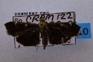 (Piletocera sp. AAO4249 - USNM ENT 00660766)  @13 [ ] Unspecified (default): All Rights Reserved  Unspecified Unspecified