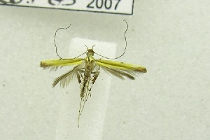 (Caloptilia sp. BOLD:AAV4639 - USNM ENT 00682342)  @13 [ ] Unspecified (default): All Rights Reserved  Unspecified Unspecified