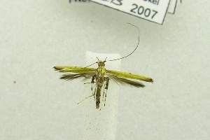 (Caloptilia sp. BOLD:AAV4639 - USNM ENT 00682350)  @13 [ ] Unspecified (default): All Rights Reserved  Unspecified Unspecified