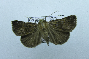 (Hypena sp. AAV2550 - USNM ENT 00697290)  @14 [ ] Unspecified (default): All Rights Reserved  Unspecified Unspecified