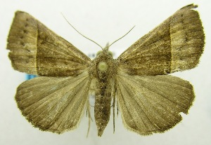 (Hypena tylistalis - USNM ENT 00732262)  @11 [ ] Unspecified (default): All Rights Reserved  Unspecified Unspecified