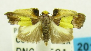 (Chrysomesia barbicostata - USNM ENT 00797264)  @12 [ ] Unspecified (default): All Rights Reserved  Unspecified Unspecified
