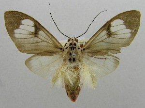 (Amerila caudipennis - USNM ENT 00797480)  @12 [ ] Unspecified (default): All Rights Reserved  Unspecified Unspecified