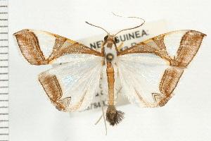 (Talanga eurytusalis - USNM ENT 00678433)  @15 [ ] CreativeCommons - Attribution Non-Commercial Share-Alike (2008) CBG Photography Group Centre for Biodiversity Genomics