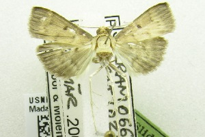 (Herpetogramma nr. licarsisalis - USNM ENT 00703272)  @13 [ ] Unspecified (default): All Rights Reserved  Unspecified Unspecified